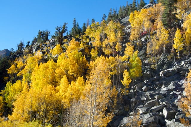 Quaking aspens by Bishop Creek