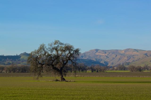 Yolo Oak